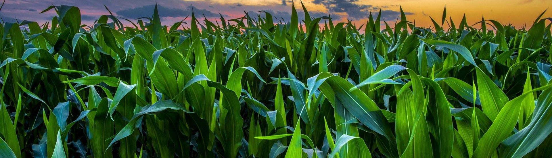corn-field-green-nature-sunset-wallpaper.jpg